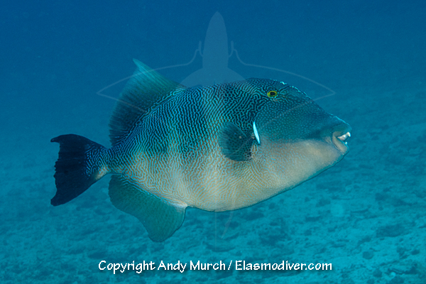 Blunthead Triggerfish