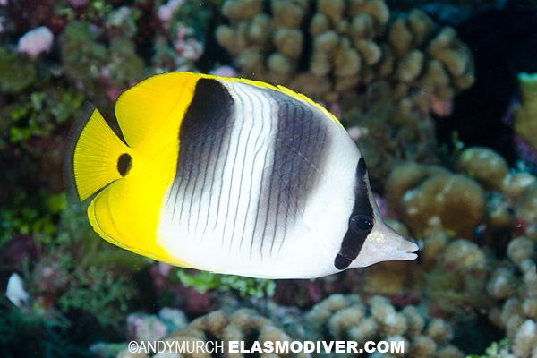 Pacific Doublesaddle Butterflyfish