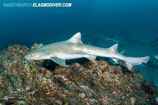 Banded houndshark with many spots