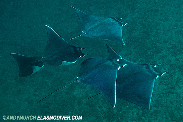 bentfin devil ray
