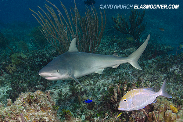 Blacknose Shark