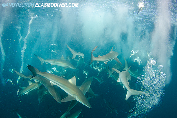 Bronze Whaler Sharks on the Sardine Run