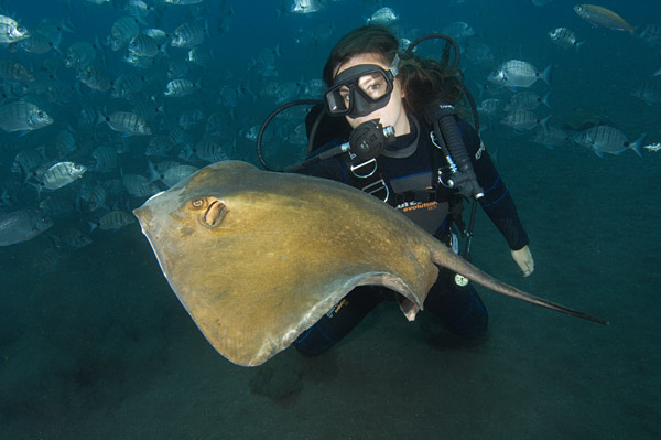 Common Stingray and Diver picture