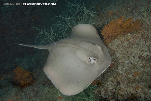 Diamond Stingray