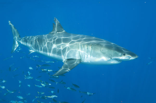 images of great white sharks - photo #47