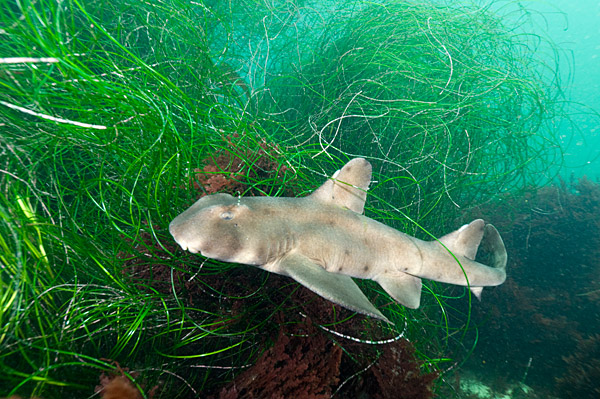 Andy Murch South Africa besides Simons Town False Bay Shark Diving additionally Pacific Sleeper Shark Caught 1920 324 besides Goblin Shark together with Red Carpet Black Dresses. on broadnose sevengill shark
