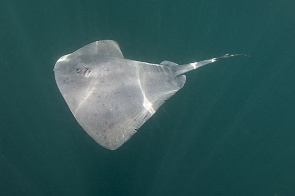 Pelagic Stingray picture