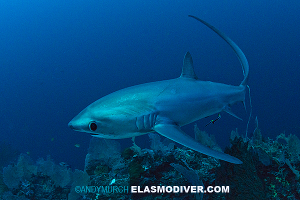 Thresher shark diving on a reef in Malapascua