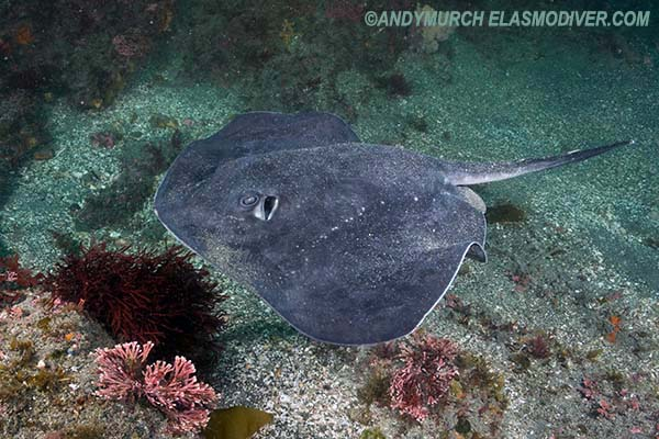 Short-tail Stingray. Bathytoshia brevicaudata.