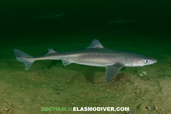 Atlantic Spiny Dogfish