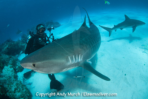 A diver with a tiger shark