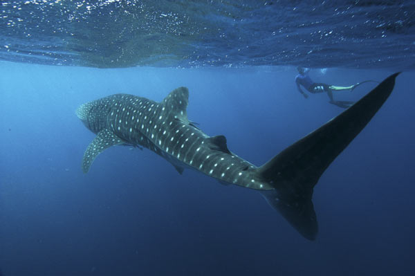 An enormous Whale Shark