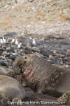 Northern Elephant Seal 011