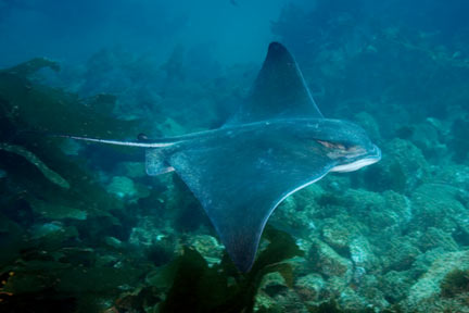 California Bat Ray Picture