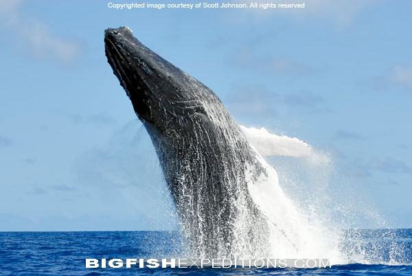Humpback Whale Diving Socorro